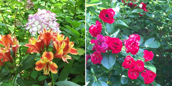『北鎌倉あじさいさんぽ』 明月院の花